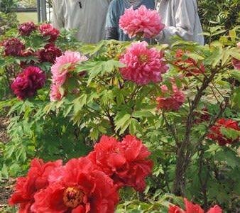 ふんわり大輪の花、ボタンが見頃 熊本県八代市・赤星公園
