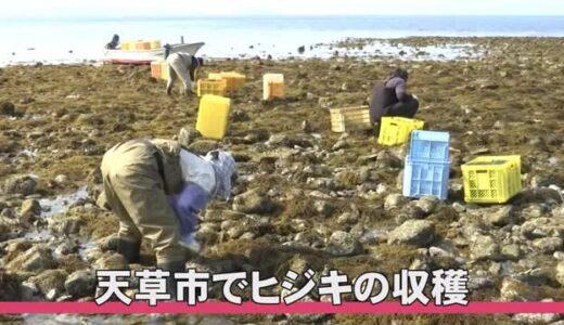 天草でヒジキの収穫【熊本】