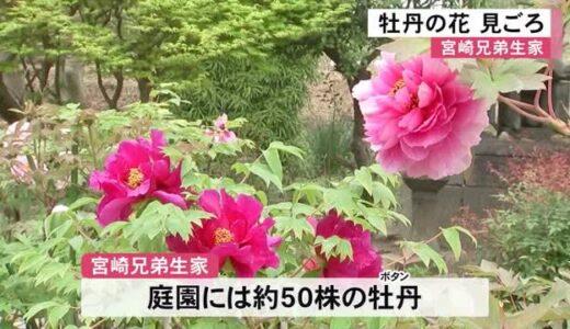 荒尾市の宮崎兄弟生家の庭園で牡丹の花が見ごろ(熊本)