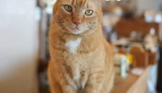 台風前日、窓から店内に入ってきた体の大きな猫 そのまま居着き、店主親子の抱っこが大好きな看板猫に
