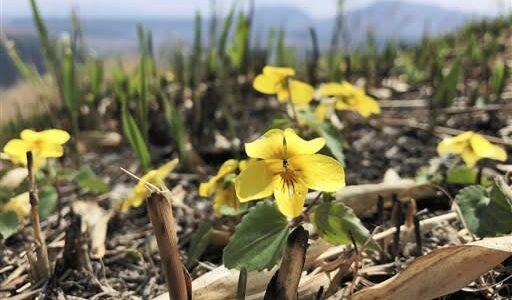 黒い山肌、キスミレ彩る 阿蘇の草原に黄色い花